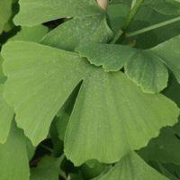 Гинкго-билоба лист 20 гр. (Азбука трав)