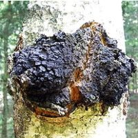 Чага (березовый гриб) 50 гр.