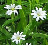 Звездчатка (мокрица), трава 30 гр.