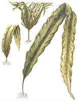 Ламинария (морская капуста)100 гр.