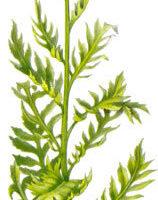 Левзея сафлоровидная (маралий корень), 40 гр. Азбука трав
