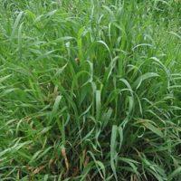 Пырей трава, 50 гр.