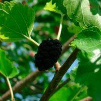 Тутовник (шелковица), 50 гр. ягода сушеная