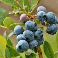 Черника плоды 50 гр.