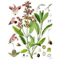 Шалфей (лекарственный), трава 40 гр. Азб. трав