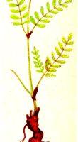 Копеечник (красный корень) 30 гр.