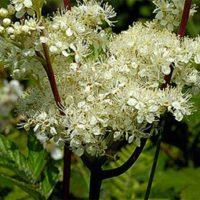 Таволга (лабазник вязолистный), трава 20 пак.*1,5 гр.