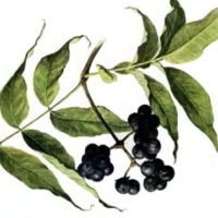 Бархат амурский ягода, 25 гр.