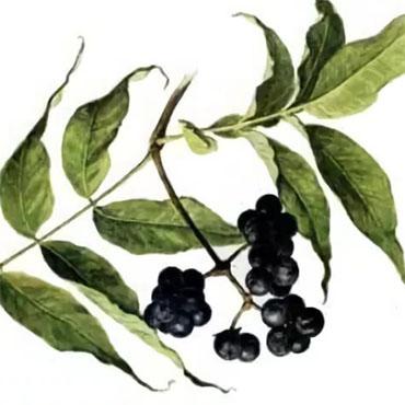 бархат амурский ягода в самаре